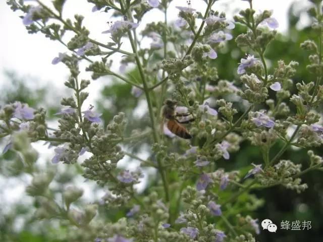 神经衰弱 葱 蜂蜜结晶 红枣 五味子蜂蜜