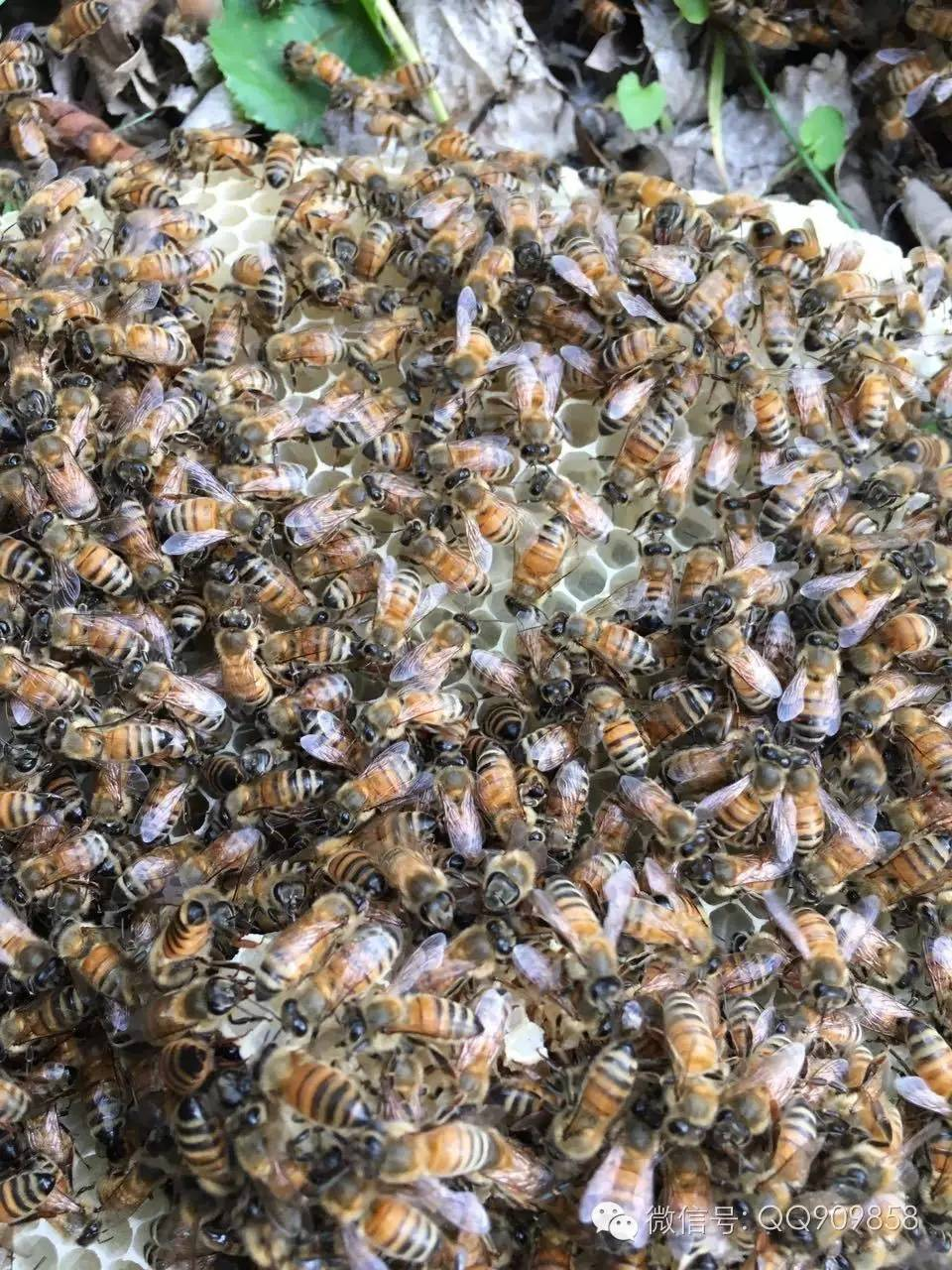 假蜂蜜 蜂蜜浓缩设备 来源 蜂蜜加工厂 柠檬蜂蜜茶
