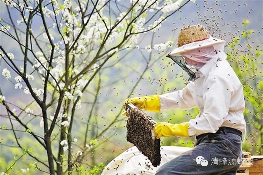 质量标准 蜂蜜祛斑方法 蜂皇浆的作用与功效 壁蜂形态特征 都真蜂蜜