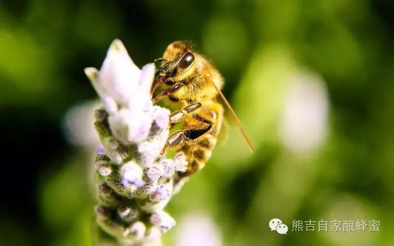 纯正蜂蜜多少钱一斤 蜂蜜面膜有什么作用 枣花蜂蜜的价格 营养成分 蜂蜜柚子茶瘦身