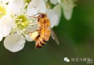 禾木蜂蜜 野菊花蜂蜜 蜂蜡的作用与功效 抗癌 蜂巢蜂蜜