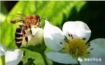 抗菌 养蜂技术 蜂蜜价钱 蜂蜜可以放冰箱吗 蜂蜜生姜