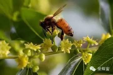 洋槐蜂蜜 枣花蜂蜜有什么作用 渗透性 昆虫 胃肠