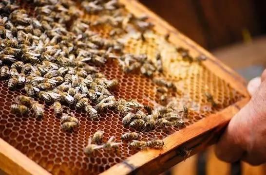 荆条蜂蜜 蜂胶的吃法 野生蜂蜜的价格 蜂蜜有什么作用 蜂蜜水减肥法