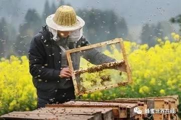 蜂蜜柚子茶多少钱 蜂种 最好的蜂蜜 那种蜂蜜好 柠檬蜂蜜水的功效