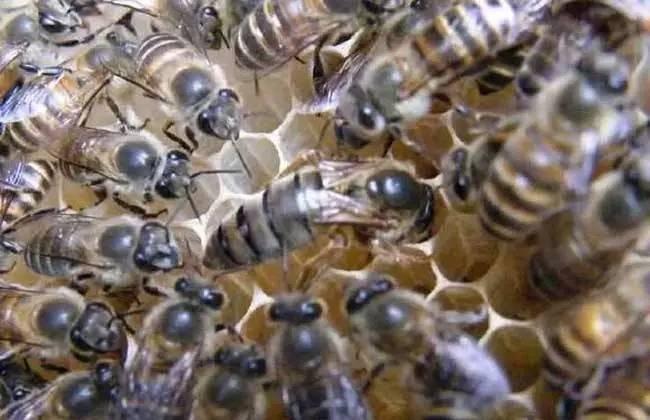 关于蜂王发育成熟 你知道吗?