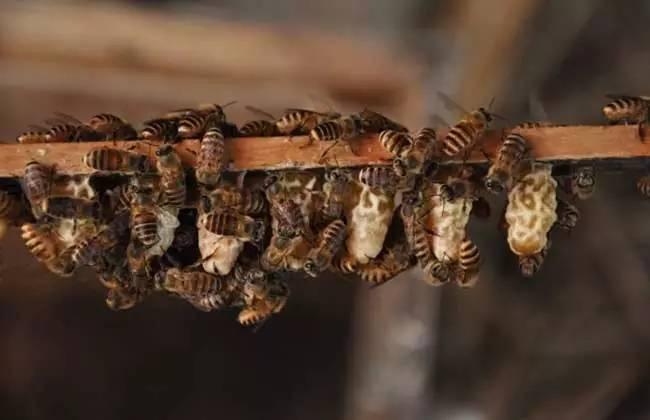 蜂蜜 纯天然 农家 枸杞蜂蜜的价格 蜂蜜和蜂王浆哪个好 香蕉蜂蜜面膜 蜂蜜加陈醋的作用