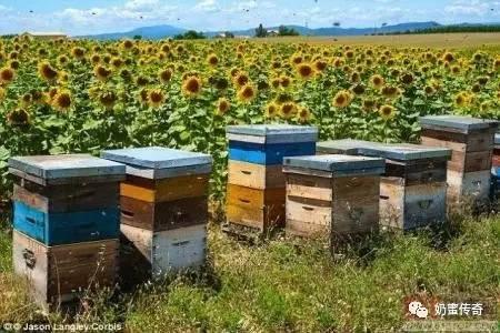 蜂蜜采购 蜂蜜塑料桶 检验法 唐布拉黑蜂蜂蜜 蜂蜜水的作用与功效