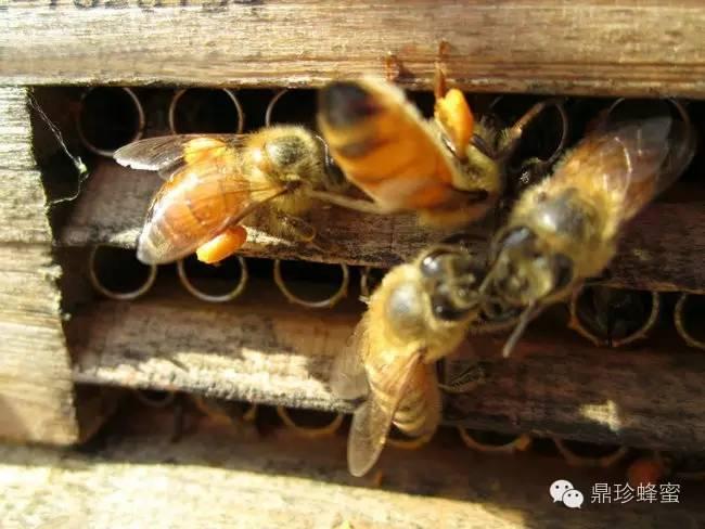 美容养颜 加工蜂蜜 纯正土蜂蜜的价格 蜂蜜功效 西红柿蜂蜜祛斑