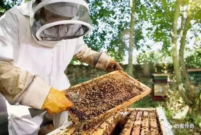 茶花粉 山蜂蜜 麦卢卡蜂蜜价格 抗疲劳 蜂蜜和蜂王浆哪个好