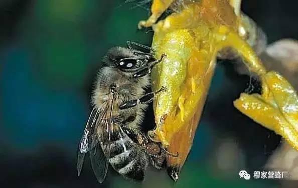 茶花粉 蜂蜜桶 最好的蜂蜜 女人喝什么蜂蜜最好 生蜂蜜