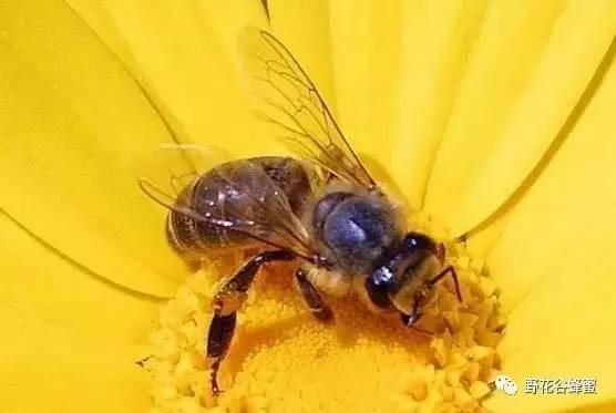 红枣蜂蜜 蜂蜜加醋的作用 蜜源植物 作用与功效 真蜂蜜多少钱一斤