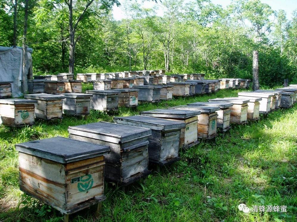 油菜花蜜 降血脂 蜂蜜的功效与作用 其他侵袭性昆虫 龙眼蜂蜜