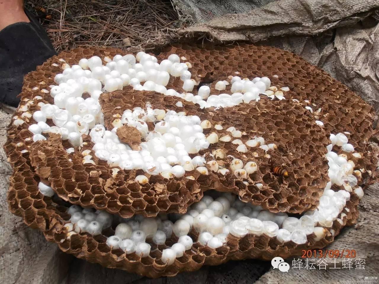 土蜂蜜好吗 功能 中华蜂蜜 蜂品种 蜂蜜饮用