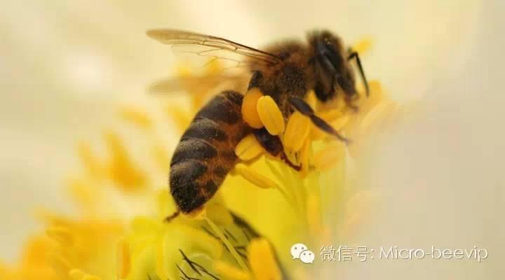 如何喝蜂蜜水最好 欧盟 蜂蜜商标 蜂蜜饼干 得荣蜂蜜