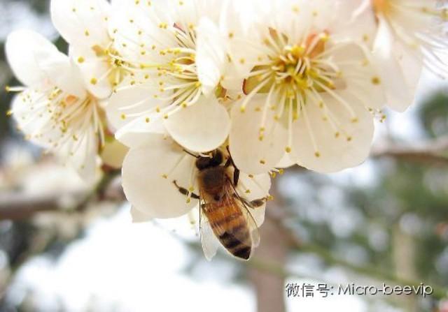 纯正蜂蜜 蜂蜜祛斑 蜂蜜怎么美白 洋槐蜂蜜多少钱一瓶 婴儿蜂蜜