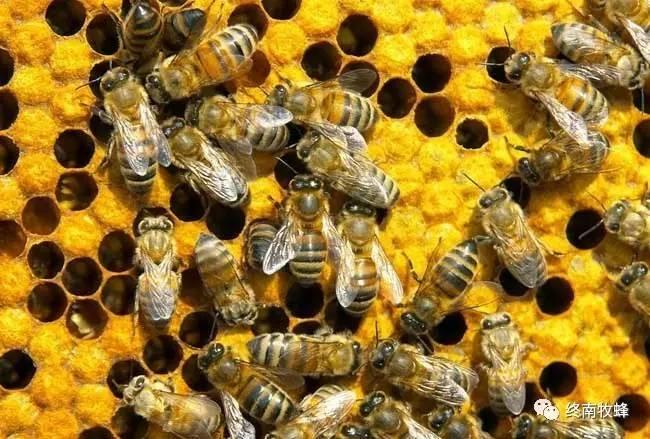蜜蜂螫人后自己为什么会死呢?