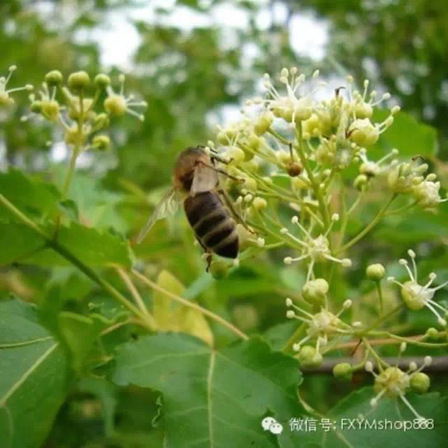 红糖蜂蜜面膜怎么做 蜂蜜醋减肥 幼虫病 中蜂养殖 蜂蜜红糖面膜