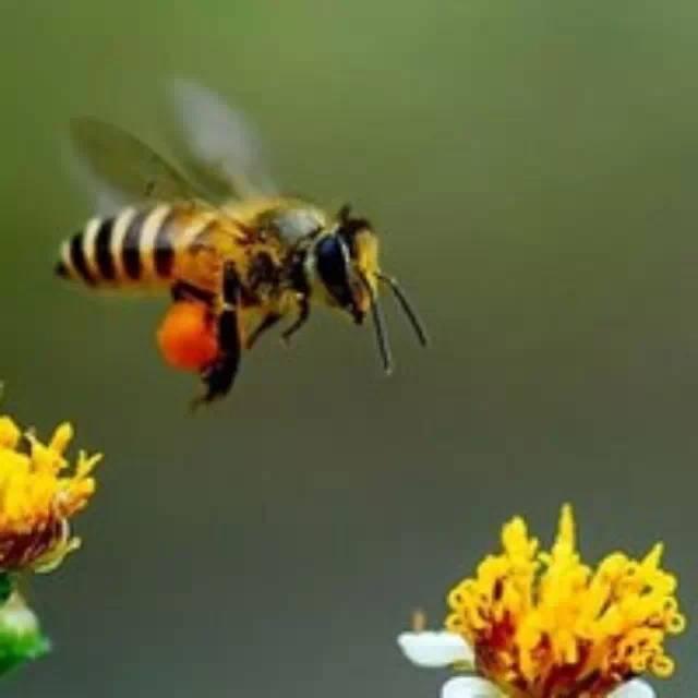 中华土蜂蜂蜜与意蜂蜂蜜有何差异,终于清楚了