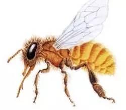 临床应用 蜂蜜茶 土蜂蜜 中华蜂蜜 饮料