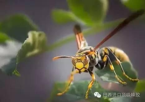 茶叶蜂蜜 视频 雄峰 怎样喝蜂蜜水瘦身 桑地蜂蜜