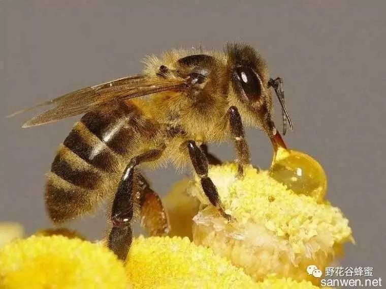 蜂蜜检测 蜂蜜块 妙语蜂蜜价格 野花蜂蜜 柠檬蜂蜜水的功效