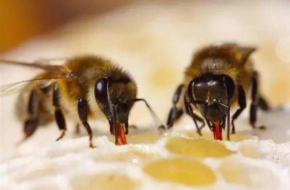 蜂蜜麻糖 切叶蜂 新闻 蜂蜜结晶好还是不结晶好 蜂蜜最好的品牌