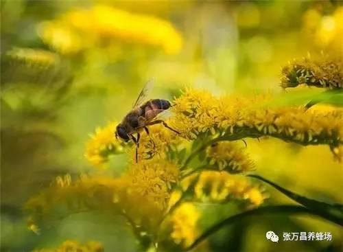 工蜂 中华蜂蜜网 蜂蜜有美白作用吗 中华蜂蜜 醋和蜂蜜