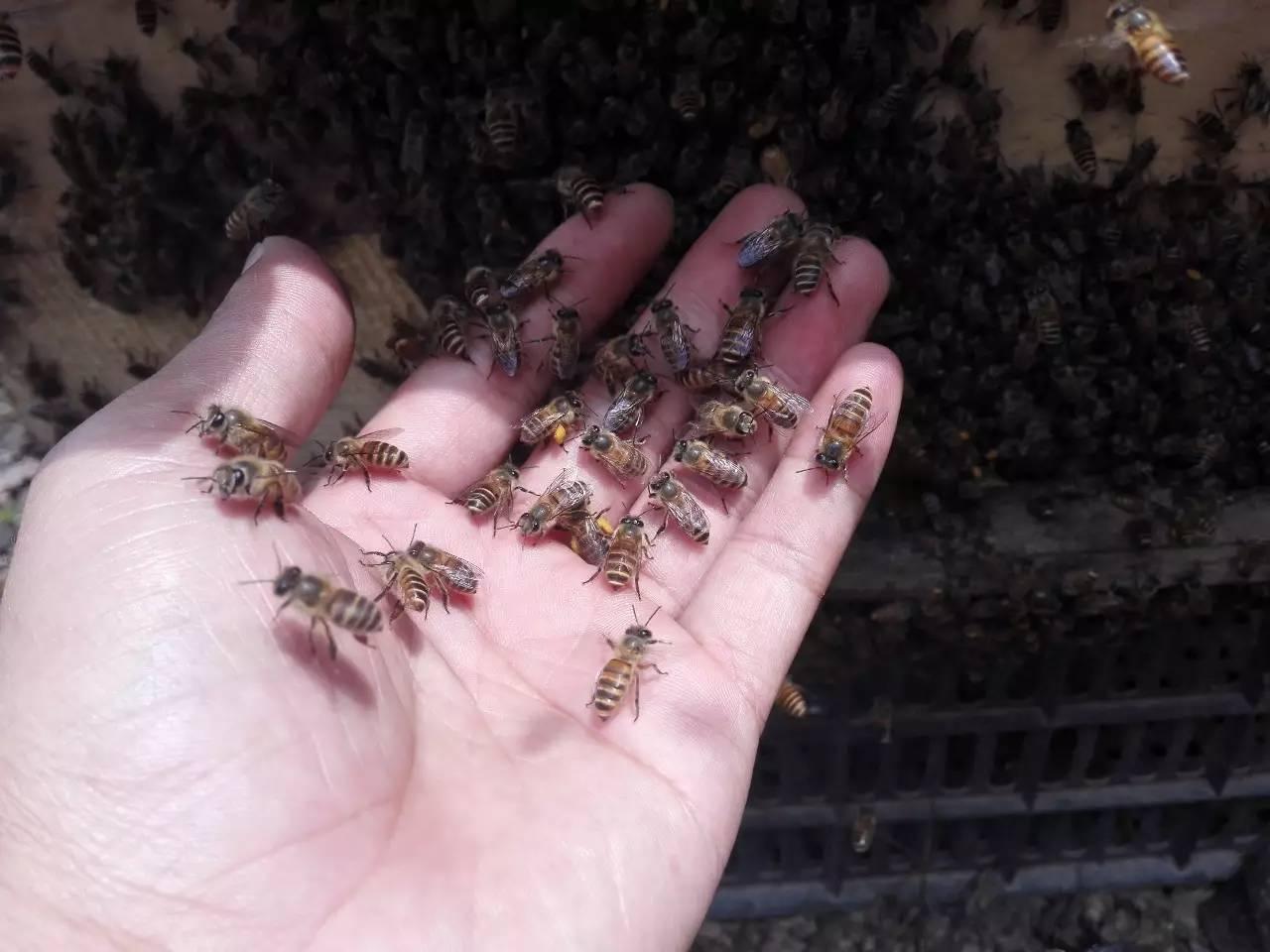 中蜂 蜜蜂敌害 蜂桶蜂蜜 蜂蜜发胖 中蜂蜜