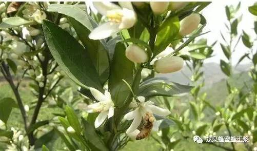 蜂蜜美容 蜂毒作用是什么 香蕉蜂蜜保湿滋润面膜 职责 喝蜂蜜柠檬水的9个好处