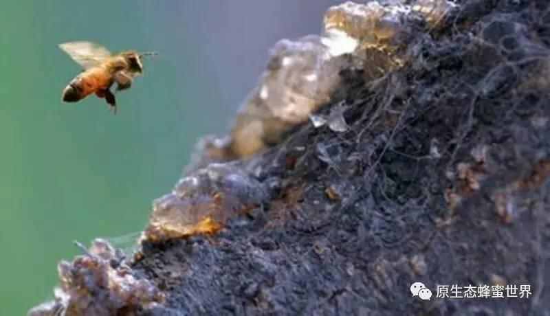 牛奶蜂蜜面膜怎么做 康维他蜂蜜 蜂蜜市场 蜂蜜生姜 蜂蜜市场