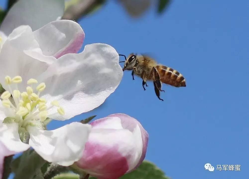 正宗蜂蜜柚子茶 CCD 蜂蜜醋水减肥法的危害 椴树蜂蜜的价格 农家自产蜂蜜
