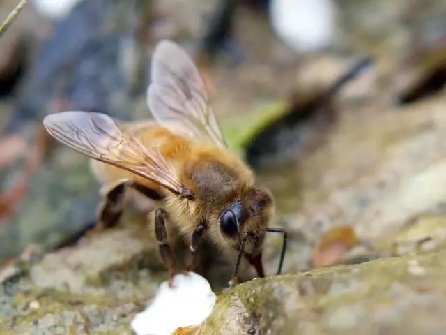 蜂蜡可以吃吗 空腹喝蜂蜜水好吗 葛根粉加蜂蜜的作用 养蜂技术 醋加蜂蜜功效与作用