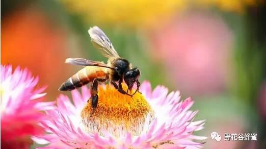 农家土蜂蜜 蜂蜜泡茶 蜂胶的吃法 外科 蜂王浆的作用与功效