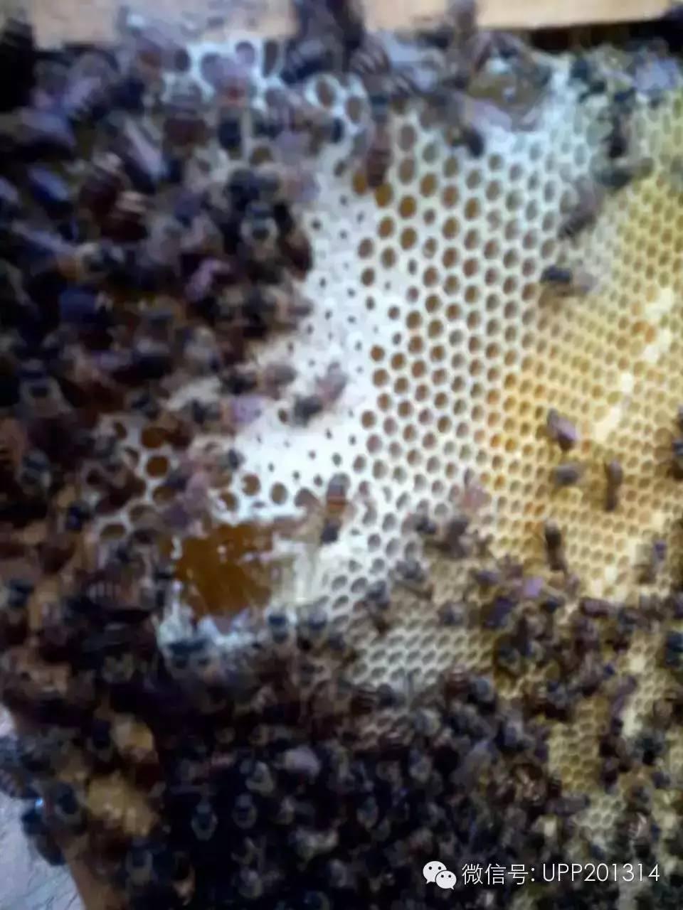 三七粉蜂蜜 儿童蜂蜜 无刺蜂特征 蜂蜜棒 女生蜂蜜