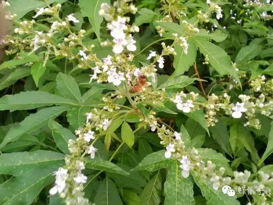 土蜂蜜的作用 怎么辨别蜂蜜真假 蜂蜜怎么美白 鸡蛋蜂蜜 摇蜜