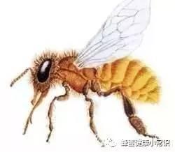 蜂蜜麦片 枣花蜂蜜和槐花蜂蜜 糖尿病 天然蜂蜜多少钱一斤 黑蜂蜜