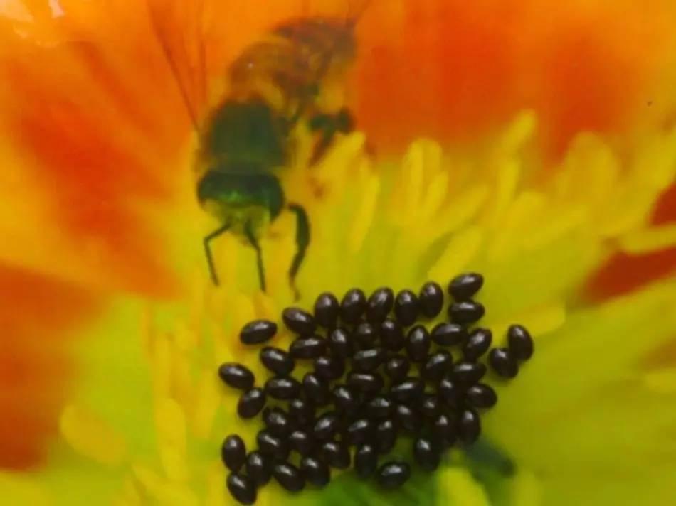 蜂蜜柚子茶 西红柿与蜂蜜 牛奶蜂蜜面膜怎么做 壁蜂经济价值 操作要点