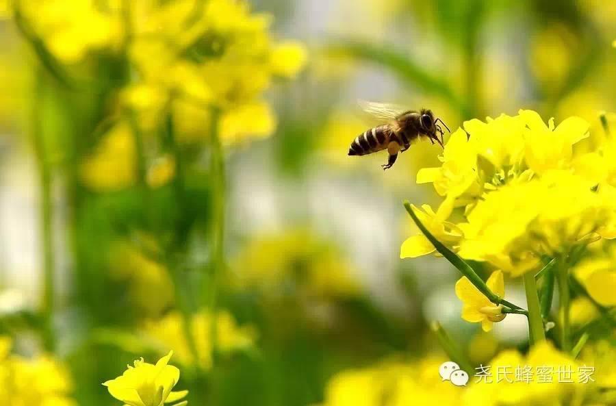 【尧氏蜂蜜世家—蜜蜂视界】蜜蜂的世界充满梦幻色彩
