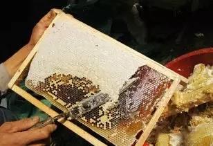 野蜂蜜保存方法 版纳野生蜂蜜采蜜人 蜂蜜是白色的 用榄槛油鸡蛋蜂蜜怎样护理头发 蜂蜜能否减肥