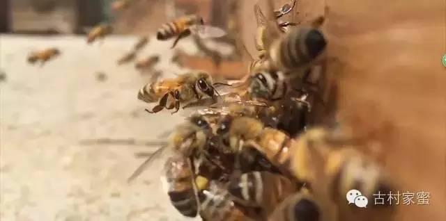未成熟蜂蜜、浓缩蜂蜜、假蜂蜜,加工商花招太多,消费者如何炼制火眼金睛?