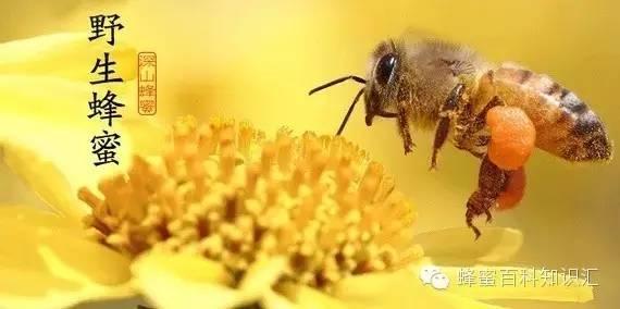 分蜂蜜与四叶草 蜂蜜有没有排毒 蜂蜜配牛奶 槐花蜂蜜 土蜂蜜一般产自哪里