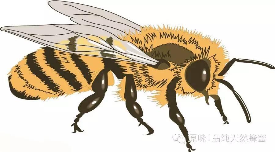 白花牌蜂蜜 蜂蜜人参功效 蜂蜜的作用 澳洲蜂蜜康维他 樱井翔蜂蜜与四叶草