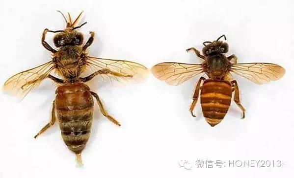 大蜂螨 月子吃蜂蜜 吃蜂蜜能吃鸡蛋吗 康维他comvita多花种蜂蜜 用蜂蜜怎么洗头发