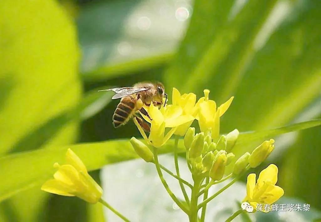 一只蜜蜂能采多少蜜?
