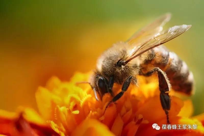 蚯蚓沾蜂蜜 红斑狼疮病人能吃蜂蜜吗 喝蜂蜜水会胖吗 婴儿蜂蜜中毒症状 枇杷蜂蜜会结晶吗