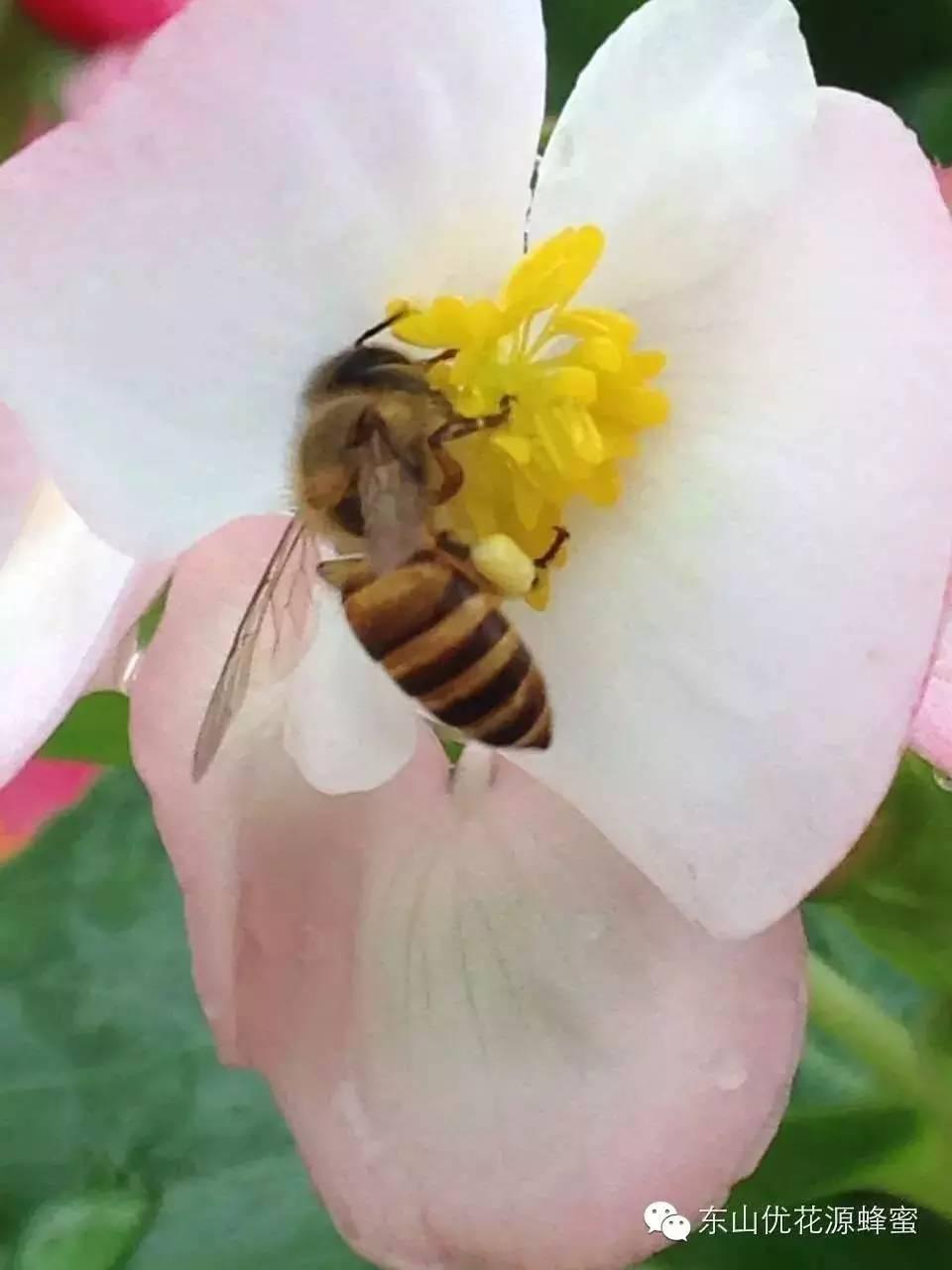 蜂蜜花粉 柠檬蜂蜜水嘴里苦 鲜榨橙汁加蜂蜜 十大蜂蜜品牌排行榜 喝酒第二天喝蜂蜜水