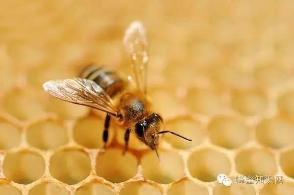 蒸梨蜂蜜孕妇能吃吗 智力蜂蜜 怎么自制蜂蜜柚子茶 蜂蜜使用 2岁宝宝咳嗽能喝蜂蜜