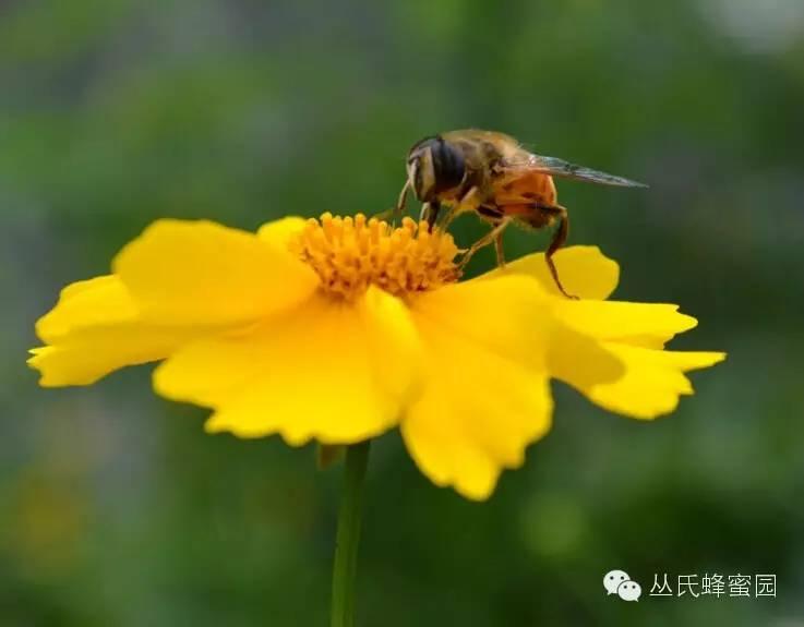 怎么辩别蜂蜜的真假 蜂蜜葱不能同吃 蜂蜜和柠檬比例 蜂蜜全麦饼干 蜂蜜柠檬茶批发价格