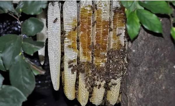 蜂蜜柠檬水的比例 云南的蜂蜜多少钱 动漫蜂蜜 药蜂蜜 蜂蜜+不变质